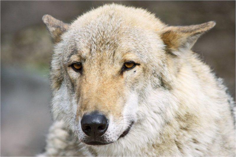 волк Волкphoto preview