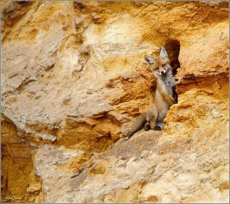 лисёнок,песчаный,карьер,нора Лисёнок на балконе )photo preview