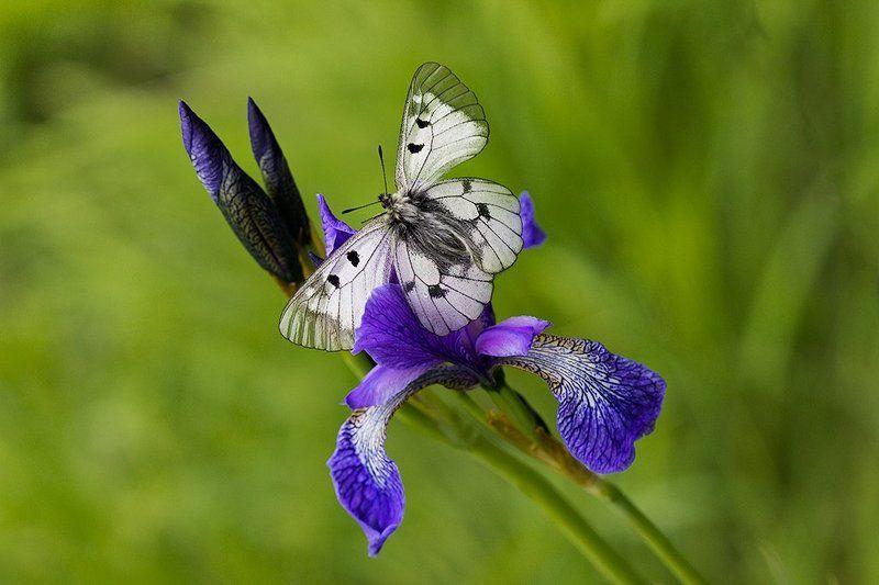 Iris , дайте мне чут-чут от вашего фиолетового!photo preview
