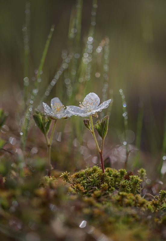 якутия, нерюнгри, морошка, июнь На болоте морошка цвететphoto preview