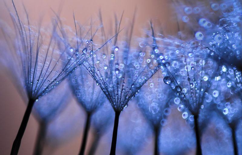 water, macro, light, drops, drop, dandelion, droplet, bokeh,droplets,reflection, вода, макро_свет, капли -photo preview