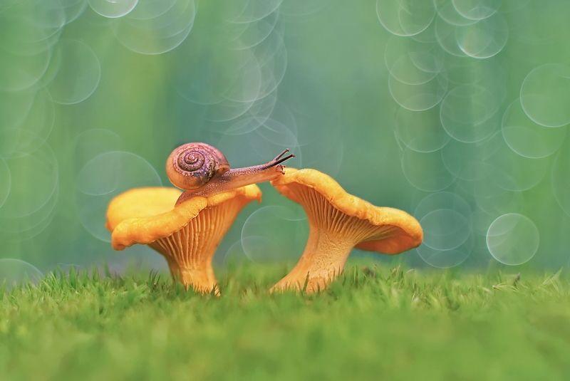 грибы, природа, макро, юпитер-8 Золотистые лисичкиphoto preview