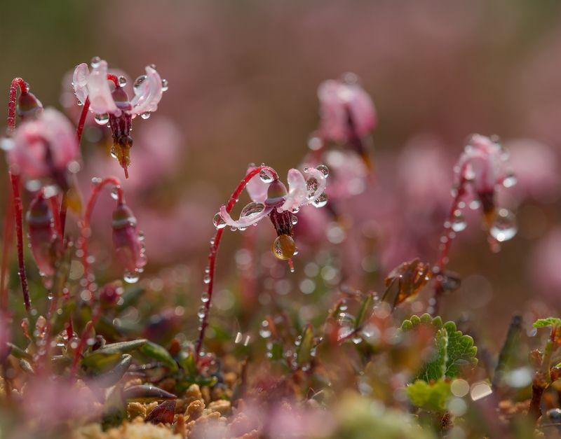 клюква, ягода, болота, клюква цветет, якутия, нерюнгри Клюковкаphoto preview