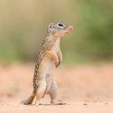 Земляная Белка -Mexican ground squirrel
