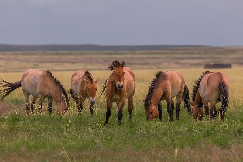 заповедныйпояс, отураладобайкала, photojourneysru, лошадь, пржевальского, оренбургский заповедник, оренбуржье, предуральские степи Предуральские степиphoto preview