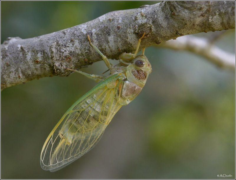 молодая цикадка сушит мягкие крылья Молодая цикадкаphoto preview