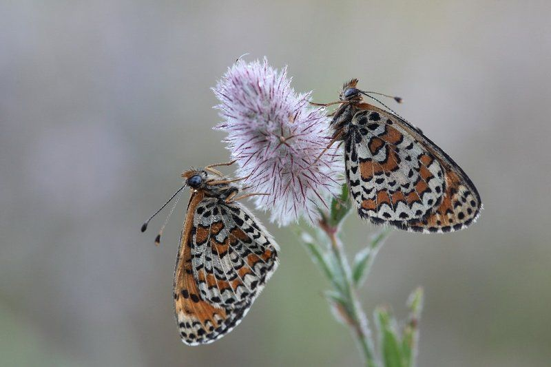шашечница, бабочка, клевер, утро Утром на клевереphoto preview