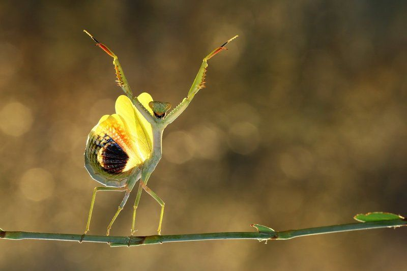 praying,mantis,dancing,macro,nature,northcyprus,cyprus,35photo,awards Let\'s Dancephoto preview