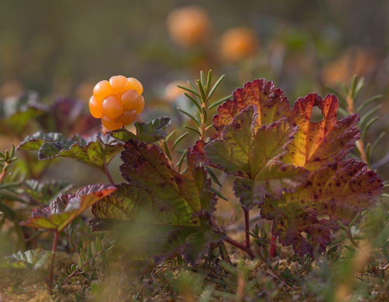 морошка, болото, якутия, нерюнгри, ягоды, северные ягоды Королева болотаphoto preview