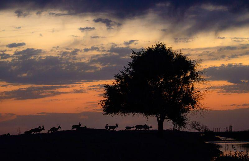 вечер, закат, ночь, сайгаки Вечер. Дерево. Сайгаки!photo preview