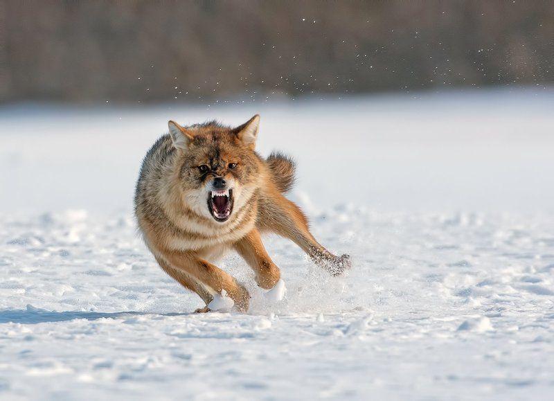 Златист чакал  Canis aureusphoto preview