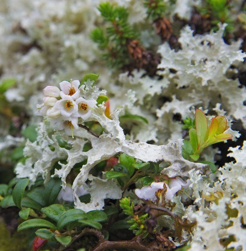 растения, Кольский полуостров, Хибины, фауна Севера брусника в цветуphoto preview