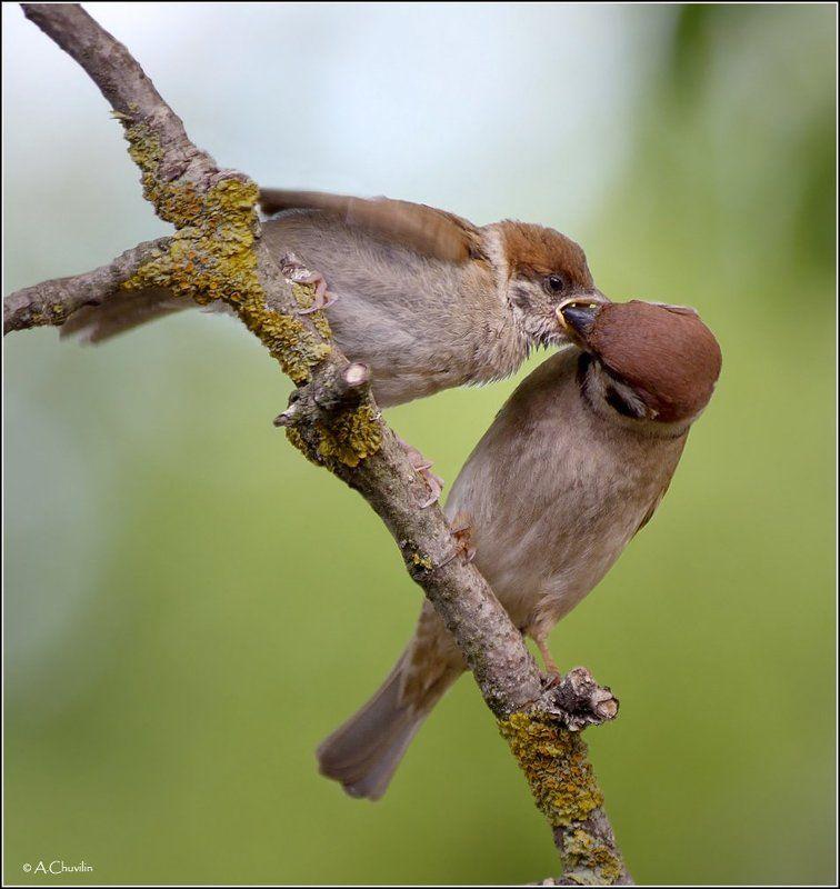 воробьишка,голодный,кормление,птенец Голодный воробьишка )photo preview