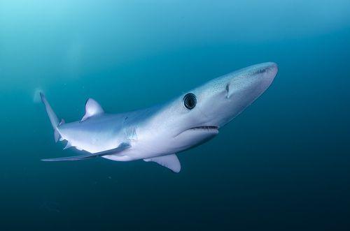 Элегантная акула