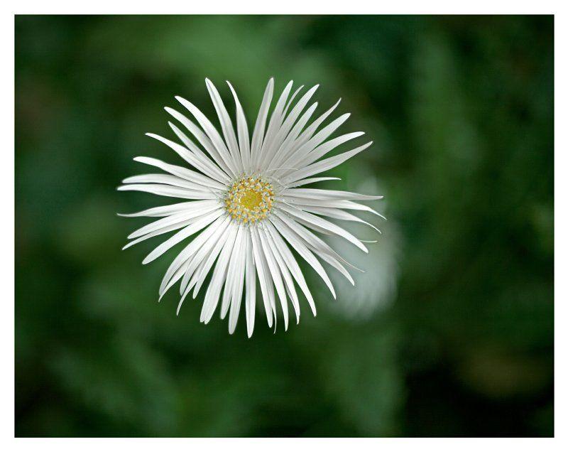 ромашка , цветы , боке ***photo preview