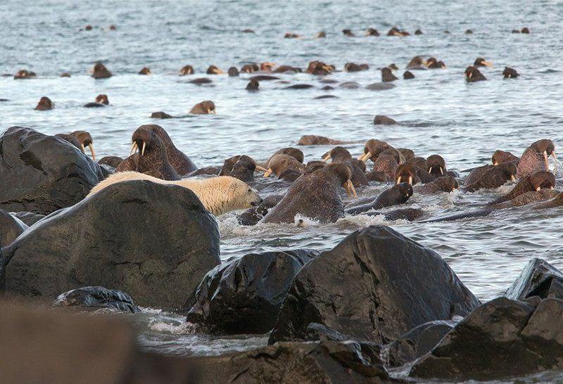 чукотка, арктика, море, лето ,берег, медведь, морской ,белый, полярный, умка, лежбище , морж,охота Шухер на лежбищеphoto preview