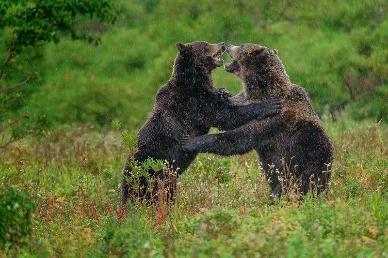 бурый медведь камчатка Камчатский вальсphoto preview