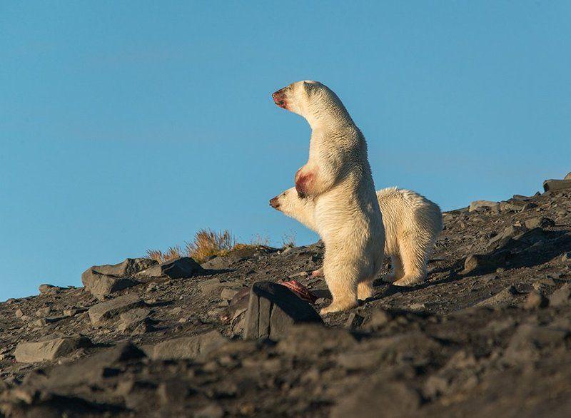 чукотка арктика кожевников медведь морской белый полярный умка Высоко стою - далеко гляжу...photo preview
