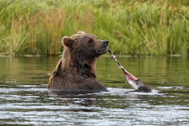 медведь, камчатка, bear, kamchatka Я водяной, я водяной...photo preview