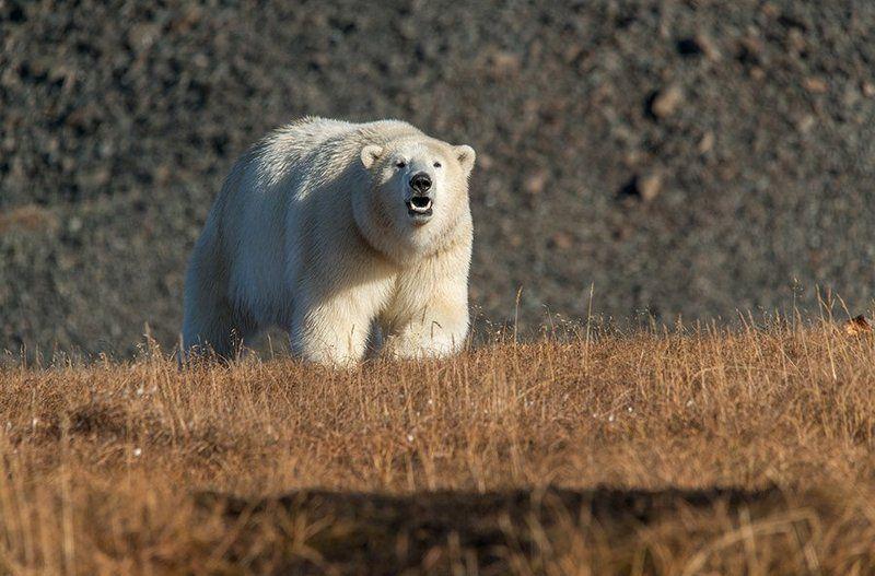 чукотка арктика кожевников медведь морской белый полярный умка Любопытство не порок ....photo preview