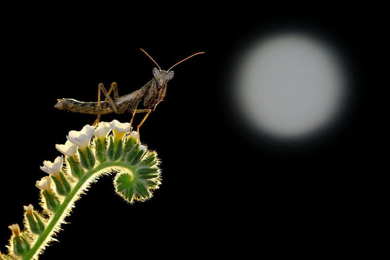 moon,light,praying,mantis,macro,nature,cyprus Moonlightphoto preview