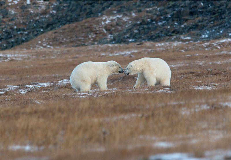 чукотка арктика кожевников медведь морской белый полярный умка  игры Сумоисты ....photo preview