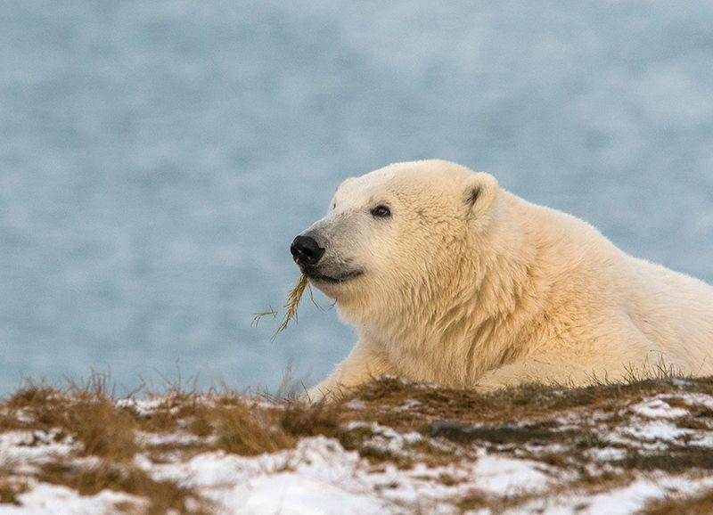 чукотка арктика кожевников медведь морской белый полярный умка Мечтатель...photo preview