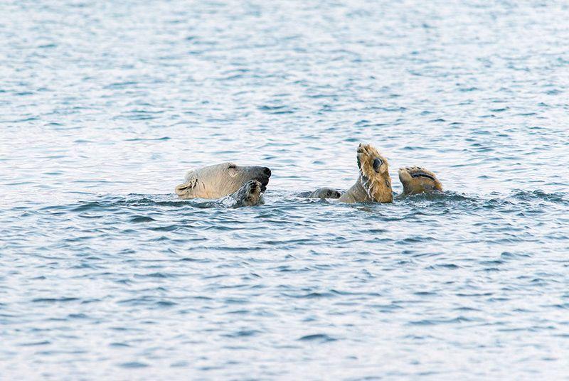 чукотка арктика кожевников медведь морской белый полярный умка Отдых на воде...photo preview