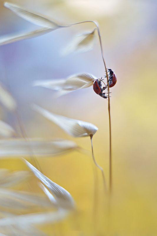 божья коровка, жук, насекомое, макро, природа, боке, пецваль Инь и Яньphoto preview