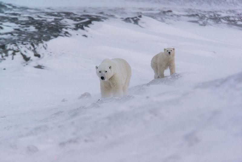 чукотка арктика кожевников медведь морской белый полярный умка Под защитой...photo preview