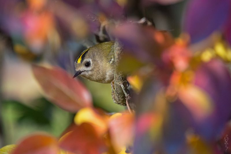 королёк в зареве осеннего салютаphoto preview