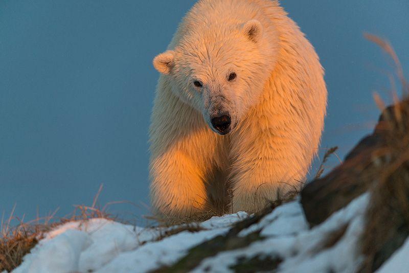 чукотка арктика кожевников медведь морской белый полярный умка Солнечный медведь...photo preview