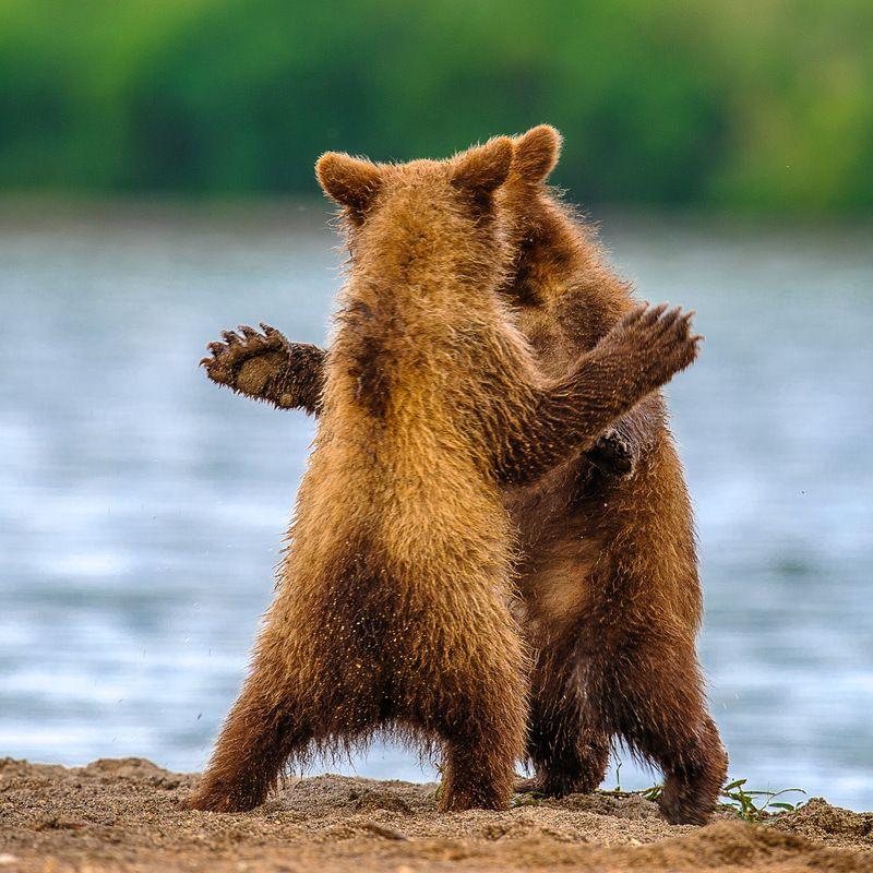 #bear #kamchatka #wildlife #wildlifephotography #wildnature #nikon #outdoors #animal #nature  #naturelovers #bearphoto  #cubs Дай пять !photo preview