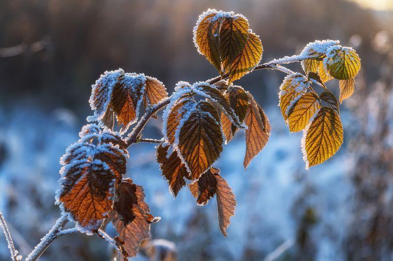 осень, иней, мороз, снег, ветка, малина, листья Идет зима, сменяя осеньphoto preview