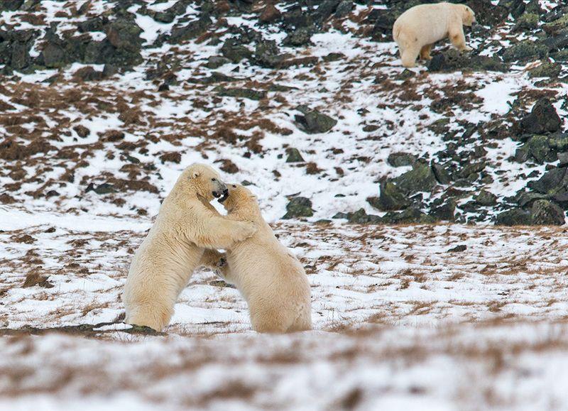 чукотка арктика кожевников медведь морской белый полярный умка Борцы....photo preview
