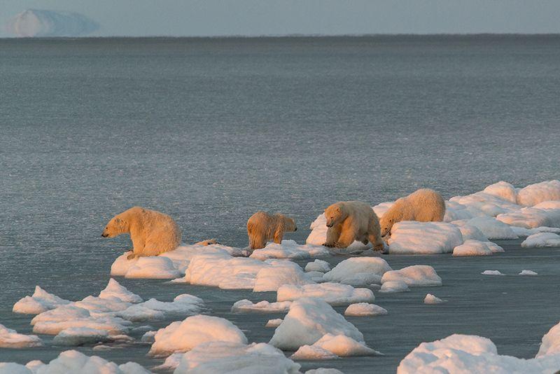 чукотка арктика кожевников медведь морской белый полярный умка  игры Тусовка...photo preview