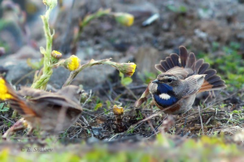 birds,bluethroat,luscinia svecica,варакушка,птица,птицы Отраженье .photo preview