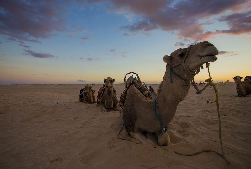 тунис, дуз, сахара, закат, верблюд На закатеphoto preview