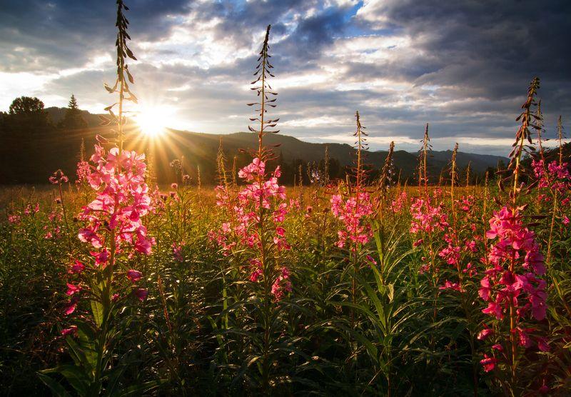 Алтай, пейзаж, закат, макро, природа Иван-чайphoto preview