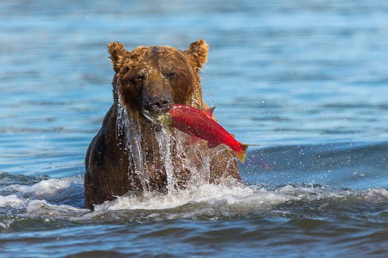 Камчатка, лето, природа, путешествие, медведь, рыбалка, рыба Из под водыphoto preview