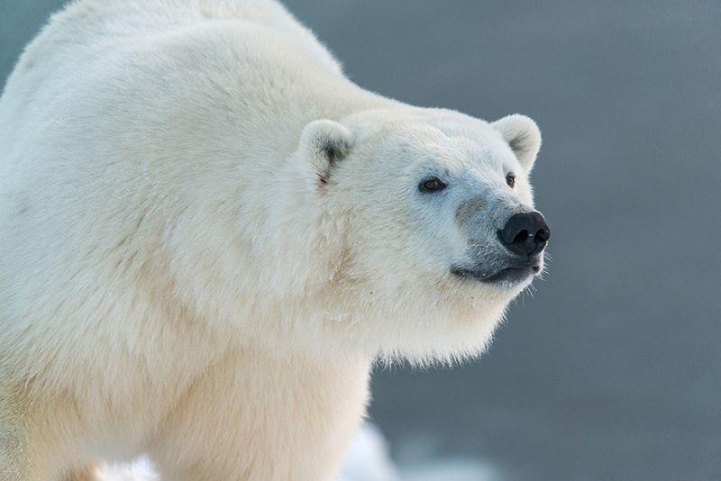 чукотка арктика кожевников медведь морской белый полярный умка ...photo preview