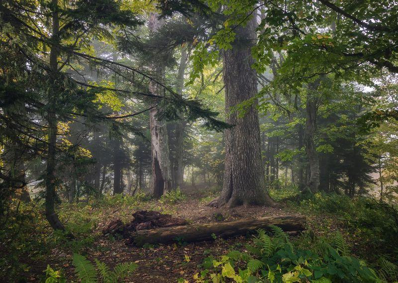 лес, туман, гузерипль, природа, осень, В лесу Гузерипляphoto preview