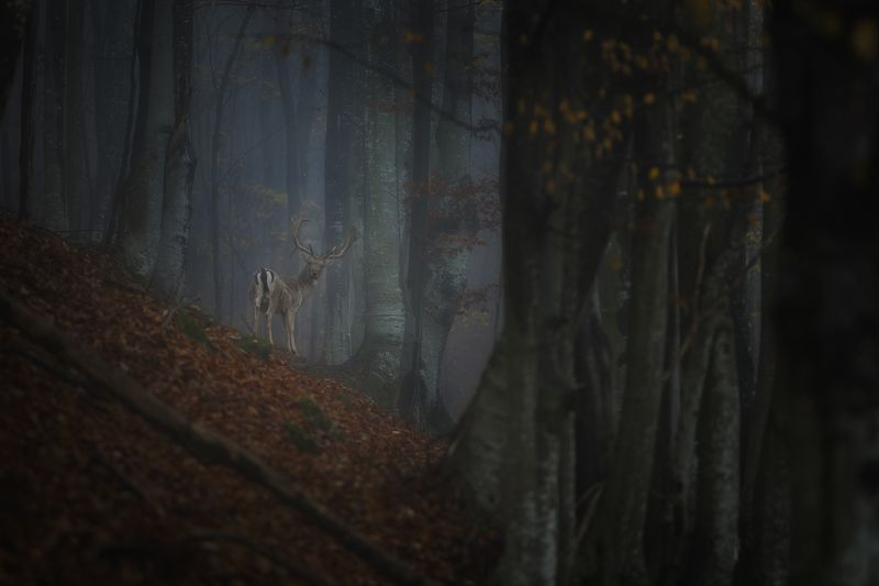 #forest #deer #autumn #landscape #animals #wildlife #wild #mountain #bulgaria Олень в лесу.photo preview