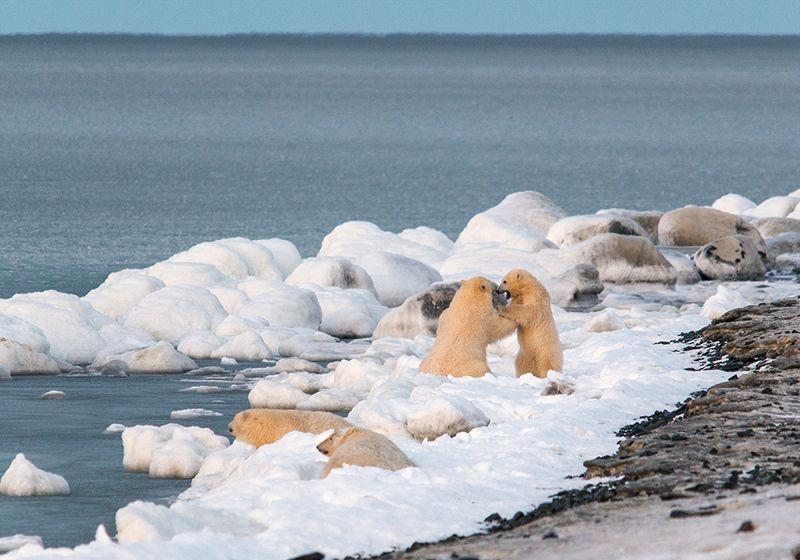 чукотка арктика кожевников медведь морской белый полярный умка  игры В ожидании льда...photo preview