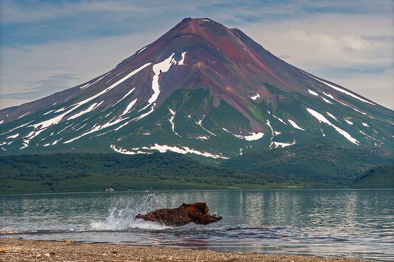 Камчатка, лето, природа, путешествие, медведь, рыбалка, рыба, вулкан Полёт нормальный!!!photo preview