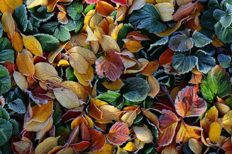 осень утро мороз иней листья Осенняя карамель.photo preview