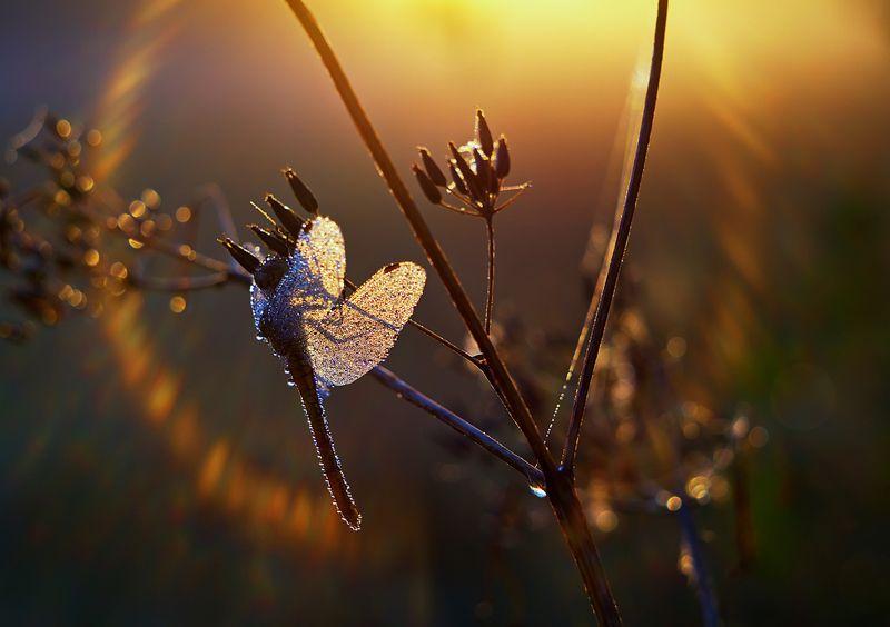 стрекоза, насекомое, утро, макро, природа, роса Первый солнца лучphoto preview