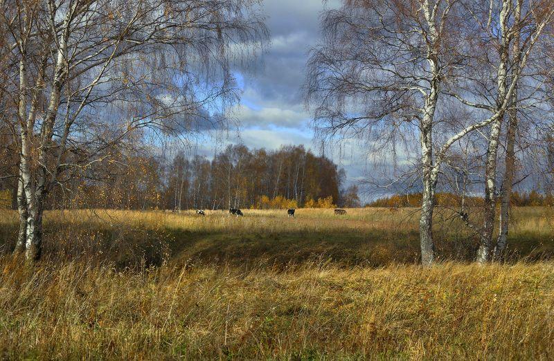 осень октябрь стадо березы Осенний моционphoto preview