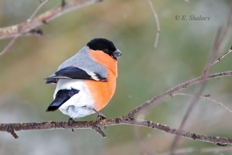 снегирь,pyrrhula pyrrhula,birds,птица,птицы,фотоохота Снегири.photo preview