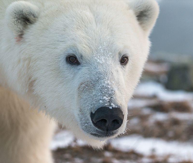 чукотка арктика кожевников медведь морской белый полярный умка Заглянуть в глаза...photo preview